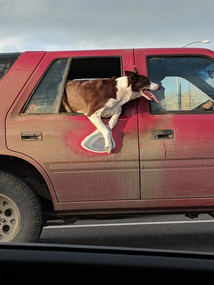 155046671218845140 - Видимо, эта собака всегда так ездит